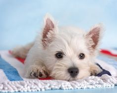 Blanco (Westhighland Terrier) - Life is a beach  (pic by Rachael Hale)