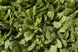 Growing Spinach... How to Grow Spinach in the Home Vegetable Garden... now you can do you green smoothies with your own organic spinach!