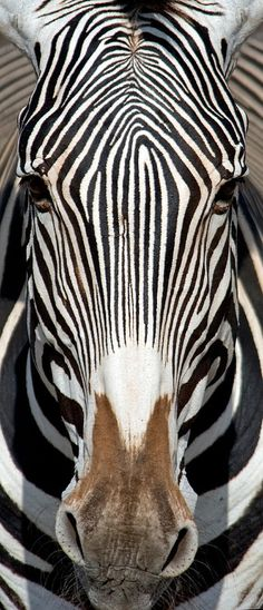 Gorgeous Zebra. Horses have nothing on Zebras for amazing coat patterns! This face is gorgeous!
