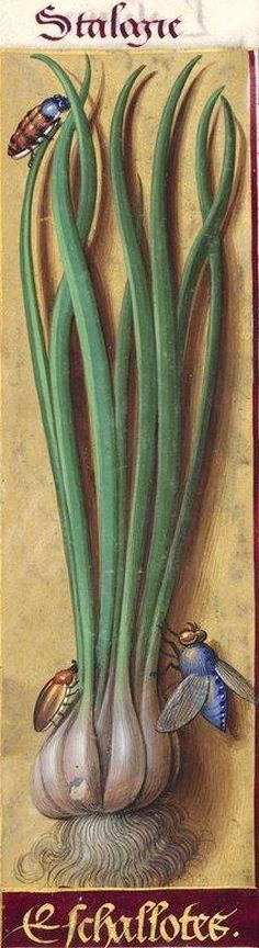 Eschallotes (Shallot), from the Grandes Heures d'Anne de Bretagne, illuminated by Jean Bourdichon, ca.1503-08. Illumination on parchment. More than 300 pages have large borders with a detailed illustration of (usually) a single species of plant
