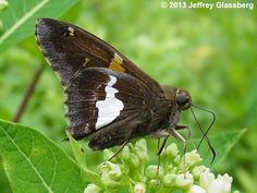 Silver-spotted Skipper. Host/nectar plants: many leaved lupine.