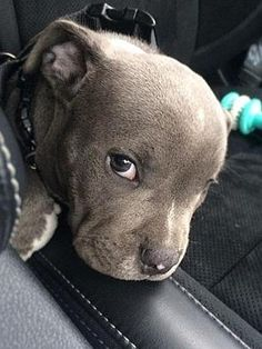What an adorable English Staffordshire Bull Terrier pup! Jesinta and Buddy's Staffy pup. Too cute! Cute Baby Dogs, Cute Dogs And Puppies, I Love Dogs, Doggies, Cute Little Animals, Cute Funny Animals, Beautiful Dogs, Animals Beautiful, Staffy Pups