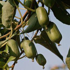 Kiwi: easy to grow i