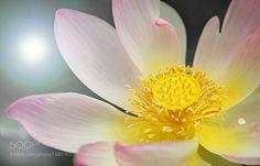 Lotuspower by wogeda #nature #photooftheday #amazing #picoftheday