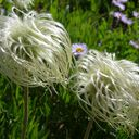 Linda from Idledale found these clematis tufts in the Grand Tetons of Wyoming