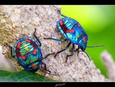 nymph cotton harlequin beetle, iridescence in nature