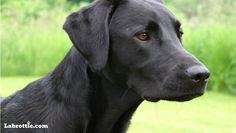 Mind Blowing Facts About Labrador Retrievers And Ideas. Amazing Facts About Labrador Retrievers And Ideas. Shepherd Mix Puppies, Lab Mix Puppies, Black Lab Puppies, Labrador Mix, Black Labrador Retriever, Labrador Retrievers, Retriever Puppies, Pitbull, Blue Merle