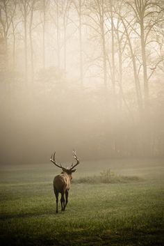 All sizes | Elk in the Mist | Flickr - Photo Sharing!