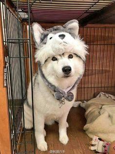 Husky with a husky hat