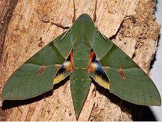 Gaudy Sphinx Moth. Eumorpha labruscae Beautiful!