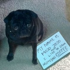 Pug shame - this is so my Penelope!!...My buddy does this to me too. little boogers