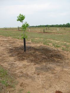 Establishing a Pecan Orchard | CAES Publications | UGA The best article I've read about establishing a pecan orchard