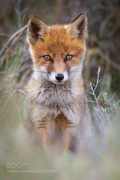 Lovely Red Fox Cub http://ift.tt/23m9I0l http://ift.tt/1OQjD4w