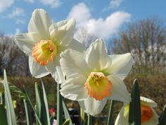 Osterglocken+weiss-gelb+3 Banner, Plants, Daffodils, Website, Yellow, Easter Activities, Banner Stands, Plant, Banners