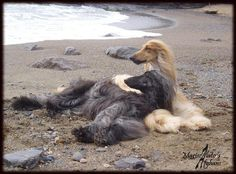 Afghanhounds on the beach .Mariscalato's Kennel from Spain.