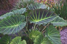 Colocasia 'Imperial Gigante' - to Zone 8a