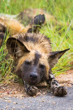 """""""Lazy Days"""", African Wild Dog, photo by Alistair Knock"""