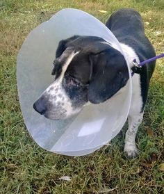 (Posted 9/16/14) Saved by Rikki's two days ago! Attacked by a dog 4 days ago, his owner finally brought him to a vet to be euthanized! Instead, Rikki's was able to help! He'll get all the care he needs and most certainly all the love he can stand! Meet Little Mack! www.rikkisrefuge.org