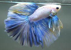 white-yellow-blue-grizzle-rosetail-halfmoon-betta-A9