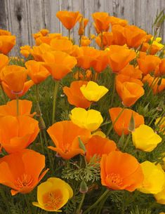 Golden Poppies. I want these growing like crazy in front of my house.
