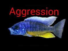 """May 2014 Reducing Aggression in Cichlids The first thing a new hobbyist probably hears about Africancichlids is """"Beware, these are mean, mean fish. African Cichlids, Fish Tank, Aquarium, Pets, Animals, Aquarius, Animals And Pets, Animales, Animaux"""