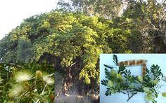 Silk Mimosa East Indian Walnut Siris Tree Albizia Lebbeck Seeds