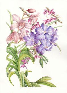 Epiphytic orchids Myanmar, Mary Dillon Pink Poppies, Blue Roses, Botanical Flowers, Botanical Art, Oriental, Burma Myanmar, Acanthus, Petunias, Vintage Flowers