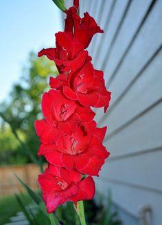 Obs de JuRicardo - O gladíolos  (palma de Santa Rita), o anturio, a zinia verde, as rosas, as dalias coloridas, a costela de adão, avencas eram muito apreciadas nos anos 50, pelo menos no lugar em que morava e em minha casa. Eram usadas no jardim, na jarra, plantadas em vasos ou ainda em arranjo (sempre com as flores deitadas) quando eram mandadas em data especial ou entregues a alguma autoridade