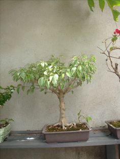 Bonsai de Ficus com 15 anos