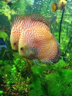 New Checkerboard Discus pair in my planted tank <3 : Aquariums