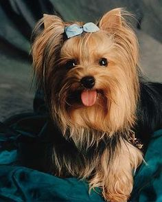 Life Expectancy in Yorkshire Terriers.click the picture to read #Always wanted one of these! #Cuteness!