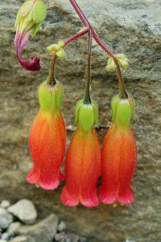 Kalanchoe manginii [Family: Crassulaceae]