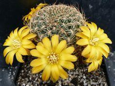 Rebutia arenacea arenacea var. candiae