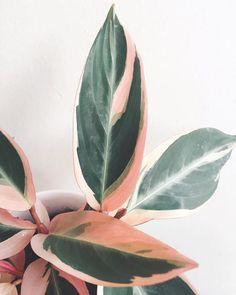 Calathea Triostar - Plants to paint - Blumen Calathea Triostar, Rosa Millennial, Plantas Indoor, Cactus Plante, Decoration Plante, Plant Aesthetic, Plants Are Friends, Best Indoor Plants, Perfect Plants