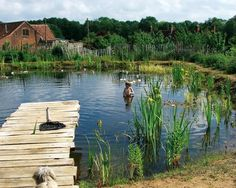 The ecological and health benefits of natural swimming pools its like an old swimming hole when I was younger.