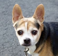 Lurch, I am a male tricolor chihuahua sh mix. The shelter thinks I am about 10 YEARS old SUPER URGENT 11/15/15 Brooklyn AC
