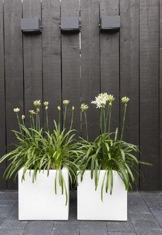 kleine witte plantenbakken van polyester. De donkere schutting, de fris groene beplanting met witte bloem en de donkere bestrating zorgen voor een mooie kleuren compositie