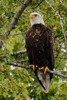 Eagle in Carpentersville , IL.