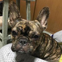 やったー つむじ麻酔から目覚めたコールが病院からキター  思わず1コールですぐ電話出ちゃったよ  とりあえず一安心  はぁー良かった良かった  応援ありがとうございました  #buhi #frenchbulldogs #dog #フレンチブルドッグ#避妊手術#無事に終わった
