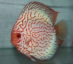 Show Quality Discus Fish from Discus Delivery USA!