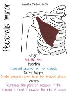 All Upper Limb Muscles Notes & Drawings Muscle Anatomy, Body Anatomy, Hand Therapy, Massage Therapy, Muscles Of Upper Limb, Medical Assistant Test, Upper Limb Anatomy, Mega Series, Forearm Muscles