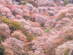 (4枚目の画像)桜の季節がやってきました!花びらを見ると春の訪れを感じますよね。春だからこそ体験して欲しいのが、桜を見ながら浸かる温泉♪なんと露天風呂から千本桜を一望できてしまう温泉があるんですよ!露天風呂から桜を眺める贅沢…経験してみませんか?奈良県は吉野にある「吉野山温泉宝の家」。ここの露天風呂からは、吉野山の千本桜が見られるんです!これでもか!というぐらい桜を堪能できる絶妙な場所に位置しており、心身共に癒されます。こんな贅沢な独り占めができるのは吉野山..