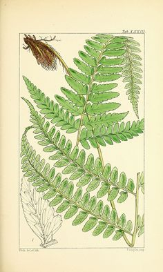 Vintage Fern Prints Plate 7 Wall Art beautiful giclee reproduction print on fine paper. Available in different sizes, unframed or framed in gold or silver leaf wood frame, or wood burl. Custom sizes available. Made in USA by Museum Outlets