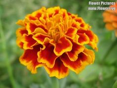 Seedville Calendula Officinalis French Sparky Marigold Mix  400 Seeds ** More info could be found at the image url.