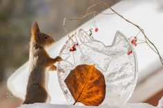 close up of red squirrel holding on to ice with a leaf and berries