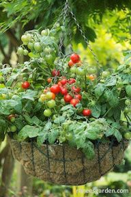 Container garden varieties. I'm eager to try the tiny tomato variety in a hanging basket.