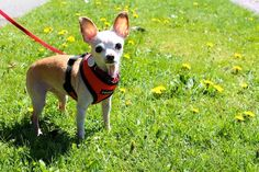 Easter Weekend in Seattle: A Pictorial cute Grady the chihuahua