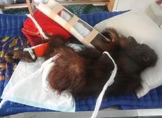 However, in spite of PT KAL's apparent concern about the social and environmental impact of its industry, they are responsible for large numbers of orangutan deaths in the area.
