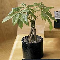 Money might not grow on trees, but you can still get a lucky Chinese Money Tree Plant in a Croc-Embossed Leather Pot. It is believed to bring good fortune and prosperity to all who possess it. Hey, it's worth a shot right? Feng Shui Tips For Wealth, Feng Shui Money Tree, Feng Shui Office, Lucky Bamboo Plants, Detox Your Home, How To Feng Shui Your Home, Zen, 5 Elements, Money Trees