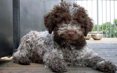 Ugo ~ Lagotto Romagnolo Pup ~ Classic Look Cute Puppies, Cute Dogs, Dogs And Puppies, Doggies, Lagotto Romagnolo Puppy, Animals And Pets, Cute Animals, Hypoallergenic Dog Breed, Wild Dogs